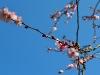 cherry-blossom-01